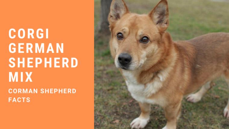 Corgi German Shepherd Mix – Corman Shepherd Facts