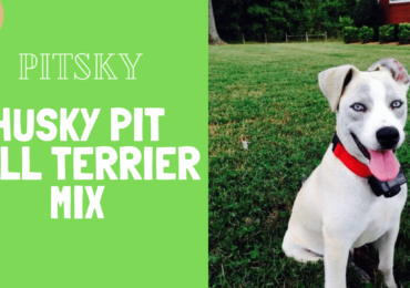 PITSKY – HUSKY PITBULL TERRIER MIX [Complete Guide and Facts]