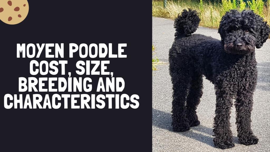 Moyen Poodle Cost, Size, Breeding and Characteristics