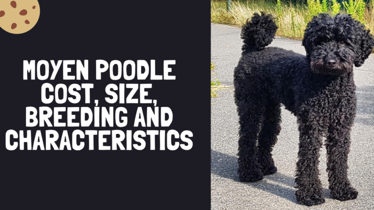Moyen Poodle Cost, Size, Breeding and Characteristics