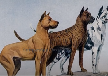 Pelea de perros Gran Danes Mascota o Asesino